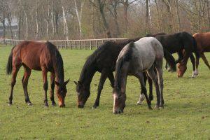 Pferdezucht Pferde Ritter